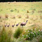 Walkabout: Emus by Aakheperure