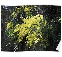 Spring Wattle Poster