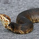 Cottonmouth(Water moccasin) by jozi1