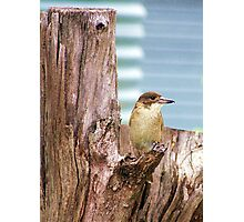 The Butcher Bird. Photographic Print