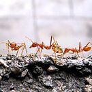 Weaver Ants by Shiju Sugunan