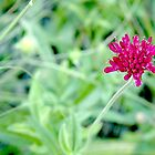 Lone Red by Amy Hochman