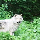 Wolf by Alyce Taylor