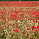 Lincolnshire Poppy Field by Sue Knowles