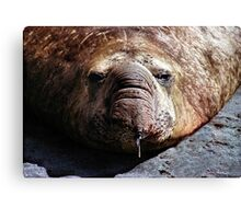 """""""A Face Only a Mother Could Love."""" Male Southern Elephant Seal  Canvas Print"""