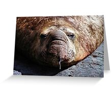 """""""A Face Only a Mother Could Love."""" Male Southern Elephant Seal  Greeting Card"""