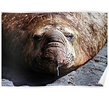 """A Face Only a Mother Could Love."" Male Southern Elephant Seal  Poster"