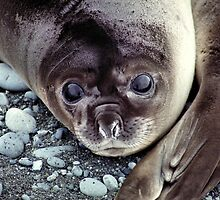 Babies, Nose to Tail. Southern Elephant Seal Pups, Macquarie Island  by Carole-Anne