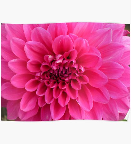 Pink Dahlia flower Poster
