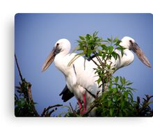 Two Openbill birds Canvas Print