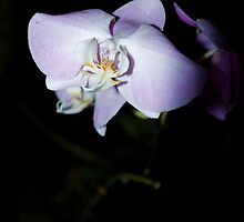 Solo Orchid by seashells