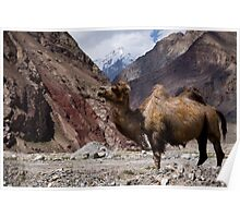 Camel on the Karakoram Highway Poster