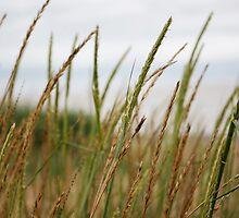 Marram Grass by KathO