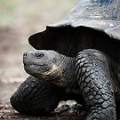 Galapagos giant tortoise by Stephen Colquitt