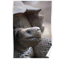 Galapagos giant tortoise Poster