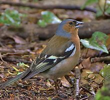 Chaffinch by Éilis  Finnerty Warren