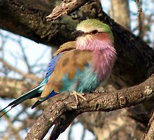 A Lilac Breasted Roller by Elizabeth Kendall