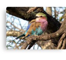 A Lilac Breasted Roller Canvas Print