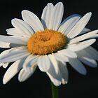 Shasta Daisy by Geno Rugh