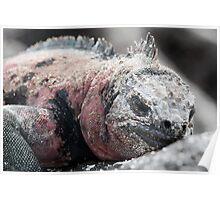 Sleepy marine iguana, Galapagos  Poster