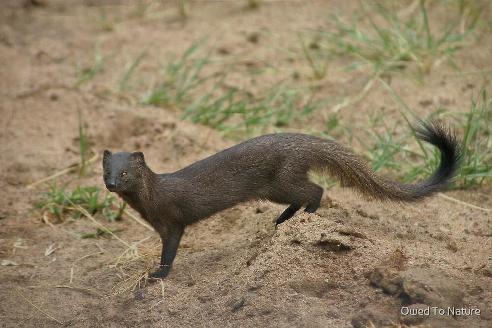 Manyara mongoose by Owed To Nature
