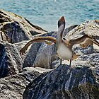 Brown Pelican Drying its Wings by Robert H Carney