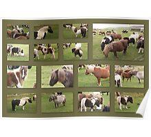 Shetland Pony Collage Poster