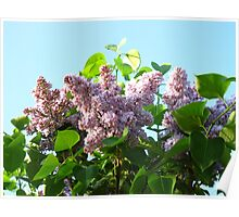 Blooming Lilacs of May Poster