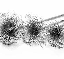 Three dead flower heads by Martyn Franklin
