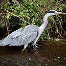 Grey Heron by Dorothy Thomson