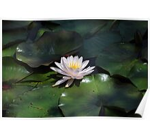 Water Lily - Kenilworth Aquatic Gardens Poster