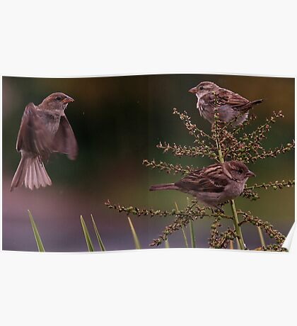 Baby Sparrows Poster