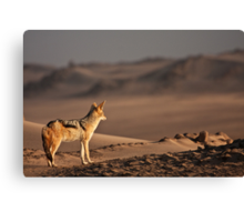 Black-backed jackal's golden view Canvas Print