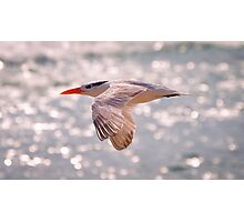 Royal Tern in Flight Photographic Print