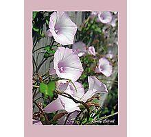 Pink Morning Glories Photographic Print