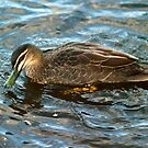 Pacific Black Duck by Odille Esmonde-Morgan