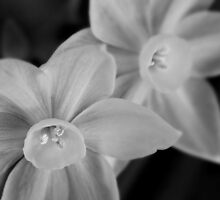 Ethereal paperwhite blossoms by Celeste Mookherjee