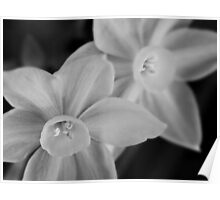 Ethereal paperwhite blossoms Poster