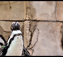 African Penguin by Heather Rivera