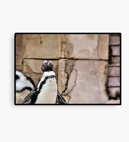 African Penguin Canvas Print