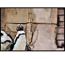 African Penguin Photographic Print