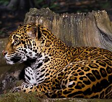 Leopard by David Lampkins