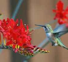 Hummingbird comes for dinner by Marjorie Wallace