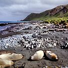 Southern Elephant Seals, Macquarie Island  by Carole-Anne