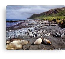 Southern Elephant Seals, Macquarie Island  Canvas Print