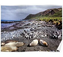 Southern Elephant Seals, Macquarie Island  Poster