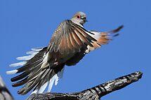 flight of a dove by birdpics