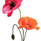 Poppies by ElsT