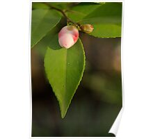Pink Camellia Bud in Winter Poster