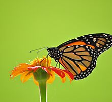 Monarch Butterfly by scw1217